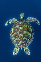 green sea turtle, Chelonia mydas, Mabul, Maylasia, Indo-Pacific Ocean