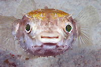 The sparkle in the eyes of this juvenile spotted porcupinefish, Diodon hystrix, fade as it matures.  Mabul Island, Malaysia.