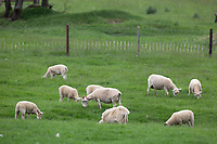 Easy care Ewes and Lambs  grazing<br /> ©Tim Scrivener Photographer 07850 303986<br />      ....Covering Agriculture In The UK....