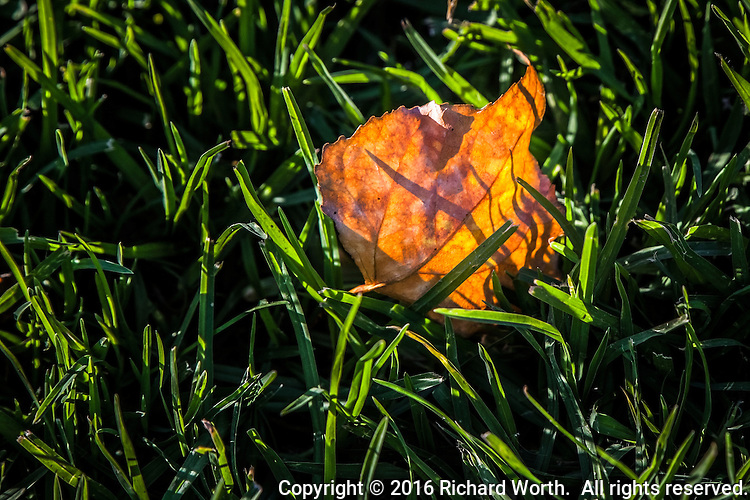 A leaf, autumn orange and tucked among green blades of grass - a quiet, intimate moment in a neighborhood park on a warm afternoon.