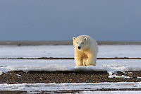 A polar bear cub is lit by the evening sun as it walks along the barrier island near Kaktovik, Alaska. Every fall, polar bears gather near the community, on the northern edge of ANWR, waiting for the Arctic Ocean to freeze. The bears have become a symbol of global warming.