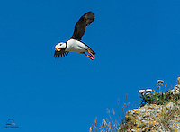Horned Puffin (Fratercula corniculata) (breeding) launches from a cliff.  The Cook Inlet, Alaska.