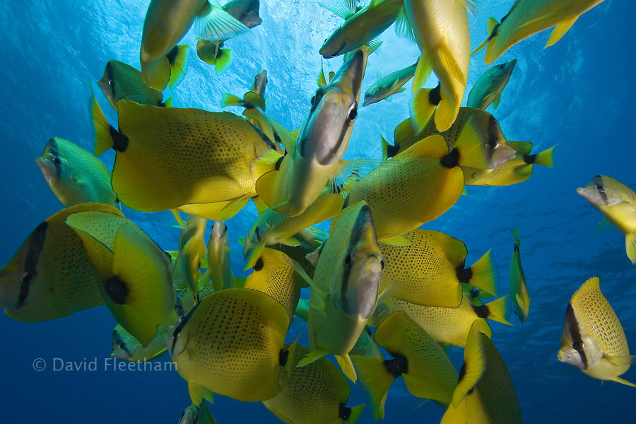 Schooling milletseed butterflyfish, Chaetodon miliaris, endemic. Hawaii.