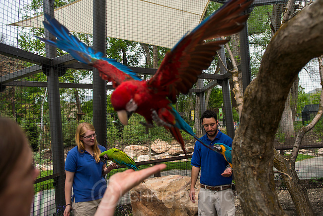 Chris Detrick  |  The Salt Lake Tribune<br /> Helen Dishaw, Caileigh Felker and Aron Smolley with macaw's Rousseau, a Green Winged Macaw, Da Vinci, a Great Green Macaw, and Picasso, a Blue and Gold Macaw, , in the new macaw exhibit at the Tracy Aviary Friday May 16, 2014. The King Vulture and Macaw exhibit will be open for Memorial Day weekend.