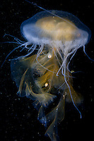 Sea Nettle ( Chrysaora fuscescens ) underwater off the islands of Haida Gwaii, British Columbia, Canada.