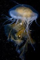 Sea Nettle ( Chrysaora fuscescens ) underwater off the islands of Haida Gwaii, British Columbia, Canada.
