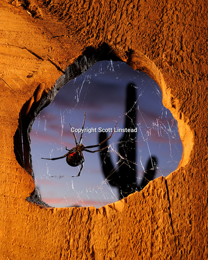 female black widow spiders often centralize their webs around holes in man-made structures.  At dusk, the spiders decend to the lower points of the web outside the hole to hunt.