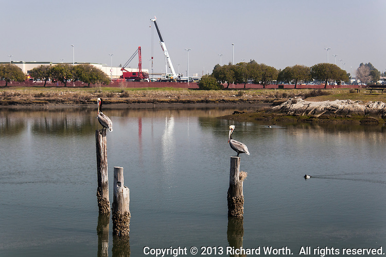 Two Brown pelicans stand on a piling in San Leandro Bay with construction cranes in the background.