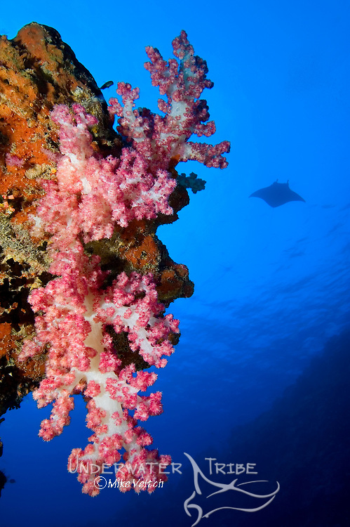 Soft coral, Dendronephthya sp., with manta ray in the background, Manta birostris, Yap, Federated States of Micronesia, Pacific Ocean