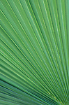 A beautiful pattern of ridges is displayed by the frond on a California Fan Palm in Anza-Borrega State Park, California.