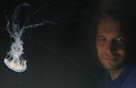 Foto: VidiPhoto<br /> <br /> ARNHEM – In Burgers' Ocean is dinsdag een nieuw kwallenaquarium in gebruik genomen met daarin een giftige en dus gevaarlijke kwallensoort: de zeldzame zeenetel. Het Arnhemse dierenpark is het enige publieksaquarium in Nederland met deze giftige kwal in de collectie. Kwallen kennen namelijk een levenscyclus die enigszins vergelijkbaar is met koralen. Ze stellen hoge eisen aan hun leefomgeving en zijn bijzonder kwetsbaar. De kweek van de zeenetel is erg lastig, volgens het park, vandaar dat ze weinig in publieksaquaria voorkomen. Kwallen moeten met een speciale stroming meegevoerd worden, anders vallen ze op de bodem. Bij te harde stroming of plotselinge veranderingen daarin, kunnen ze als een paraplu omklappen. De zeenetel heeft indrukwekkend lange draden die onderaan de hoed hangen. Iedere draad zit vol met duizenden giftige cellen die bij aanraking openklappen en giftige harpoentjes in de huid schieten. Als een klein visje of een garnaaltje tegen de draden aan zwemt, raakt hij verlamd. Burgers' Zoo noemt het een uitdaging om ook de kweek van deze lastige kwallen onder de knie te krijgen.