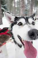Dog sledding Ski Fest Tremblant Quebec, Canada