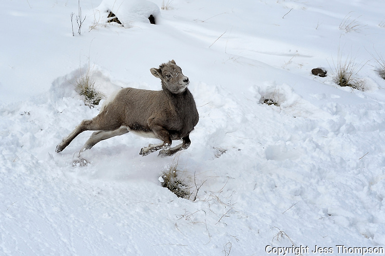 Bighorn Lamb running in snow, Cody, Wyoming