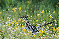 Greater Roadrunner, Geococcyx californianus, adult in wildflowers, Choke Canyon State Park, Texas, USA