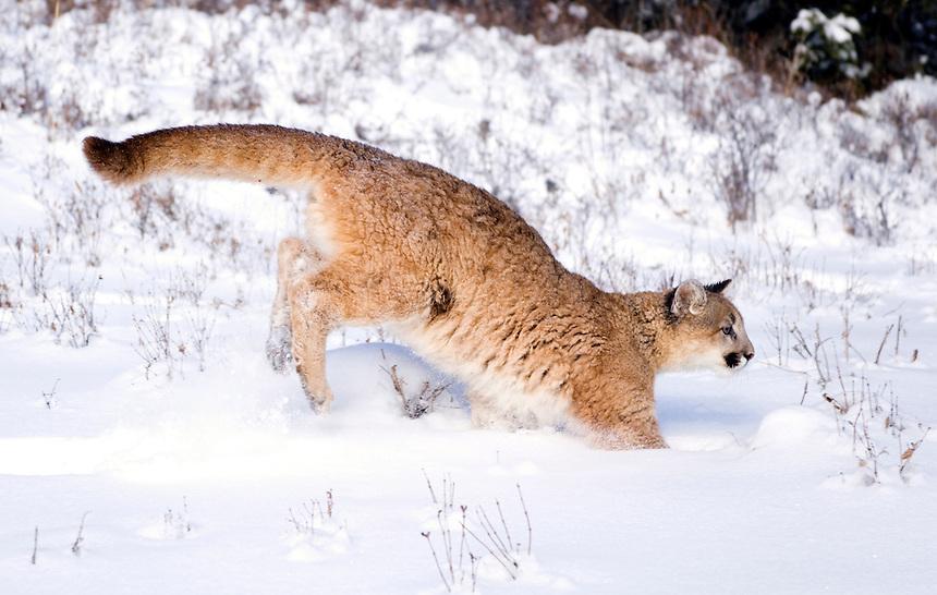 Young mountain lion (Felis concolor) bounding in fresh snow in mountain meadow