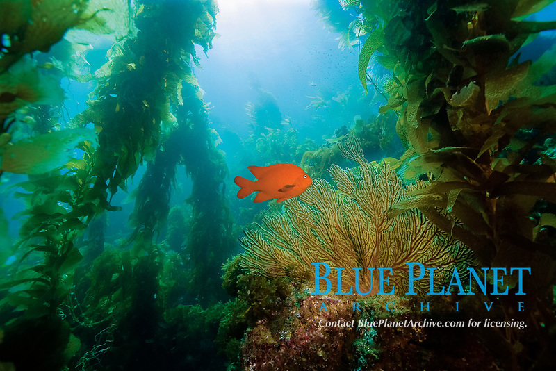 Healthy Kelp Forest, kelp forest and garibaldi damselfish, Hypsypops rubicundus, Catalina, California, USA, Pacific Ocean