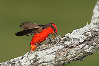 Vermillion Flycatcher (Pyrocephalus rubinus), male feeding young in nest, Laredo, Webb County, South Texas, USA