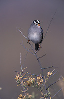 White-crowned Sparrow, Zonotrichia leucophrys, adult, Bosque del Apache National Wildlife Refuge , New Mexico, USA, December 2003