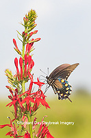 03004-01515 Pipevine Swallowtail (Battus philenor) on Cardinal Flower (Lobelia cardinalis) Marion Co. IL