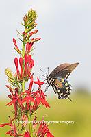 03004-01515 Pipevine Swallowtail (Battus philenor) on Cardinal Flower (Lobelia cardinalis) Marion Co. IL