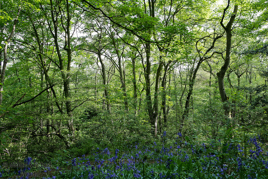 A mixed deciduous woodland at bluebell time, a tapestry of green and blue.