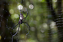 Orb-weaver spider (Nephila sp.) in its web in tropical rainforest, Andasibe-Mantadia National Park, Madagascar.