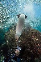 QT0289-D. California Sea Lion (Zalophus californianus) interacting with scuba diver (model released), biting diver's exhaled bubbles. Baja, Mexico, Sea of Cortez, Pacific Ocean.<br /> Photo Copyright &copy; Brandon Cole. All rights reserved worldwide.  www.brandoncole.com