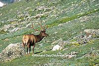 01980-022.06  Elk (Cervus elaphus) bull in velvet Rocky Mountain NP CO