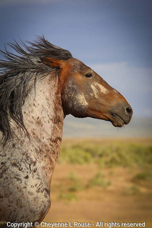 The Warrior - Mustang - Utah - Wild Horse