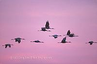 Sandhill cranes in flight. Low resolution image for Facebook. High resolution image in Sandhill Cranes gallery.