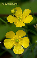 RA01-516z  Common buttercup, meadow buttercup, Cornus canadensis
