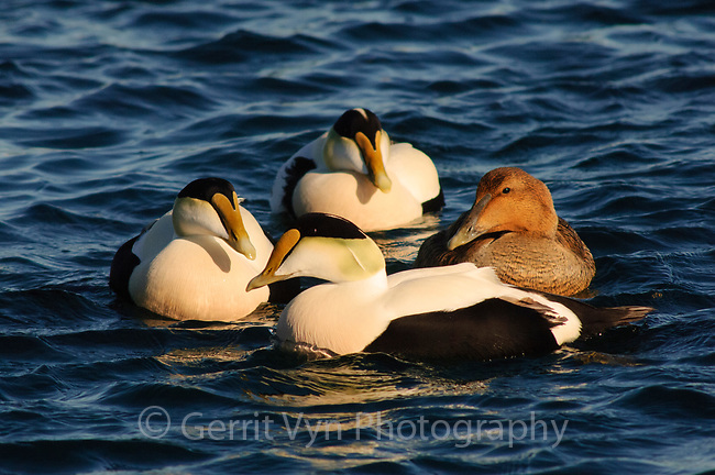 Group of Common Eider (Somateria mollissima) of the eastern subspecies S. m. dresseri. Gloucester, Massachusettes. March.