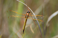 Female golden-winged skimmer photographed in the Big Cypress National Preserve. The wet prairies here support HUGE populations of dragonflies!