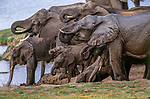 Elephants are gregarious animals living in herds of 10-20. They are grazers, native to grassland and forest throughout Africa south of the Sahara.