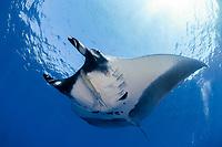 manta ray, Manta birostris, San Benedicto, Revillagigedo (Socorro) Islands, Mexico, East Pacific Ocean