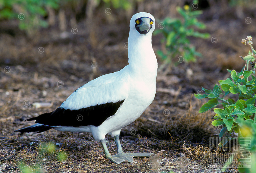"The masked booby or ""a"", (sula dactylatra personata). This bird has a wingspan of 60 inches."