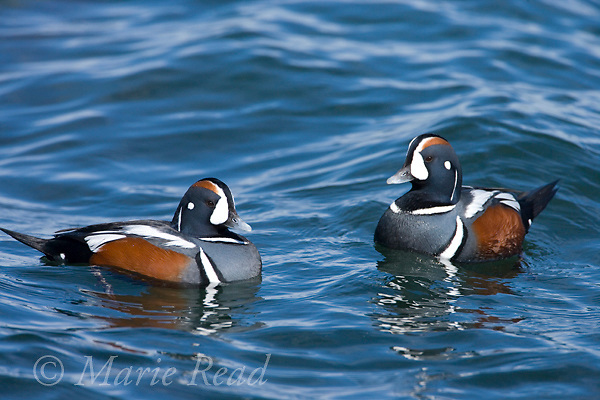 Harlequin Ducks (Histrionicus histrionicus) two males in breeding plumage,swimming, Barnegat Inlet, New Jersey, USA