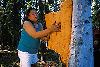 A Native Alaskan Athabascan woman strips birch bark from a tree for use in making a traditional canoe. Alaska.