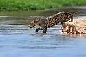 Female jaguar (Panthera onca) stealthily entering the river as she begins to hunt caiman. Northern Pantanal Cuiaba River, Mato Grosso, Brazil.