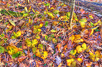 Wild ginger and oak leaves show their fall colours at Bickford Oak Woods, Bickford Line and Highway 40, 40 Kilometres south of Sarnia, Ontario.