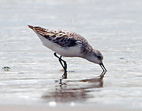 Sanderling in post-breeding plumage on July 4