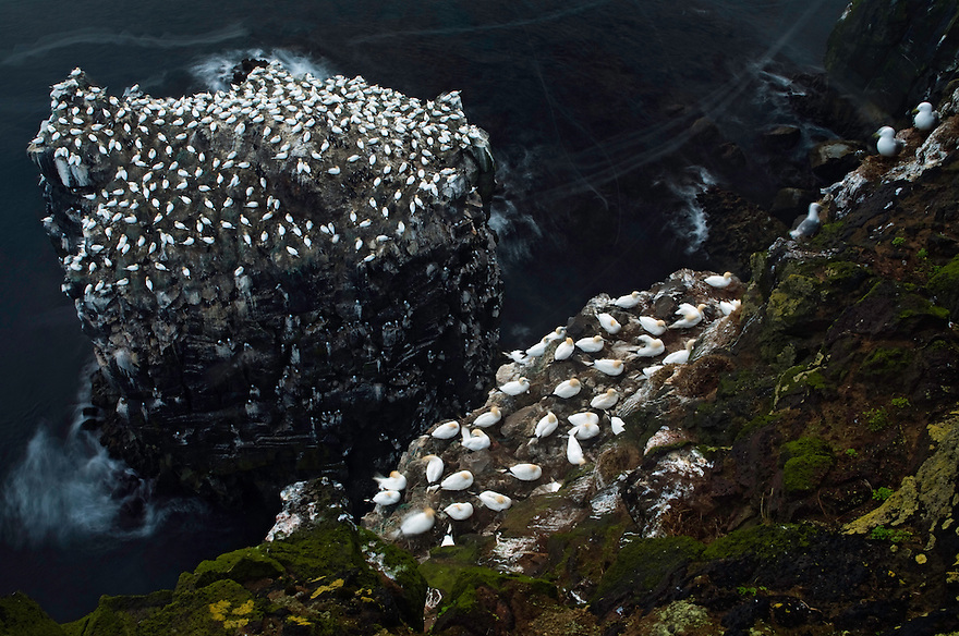 22.05.2008.Northern gannet (Morus bassanus) colony on a sea stack.Seabird cliff.Langanes peninsula, Iceland