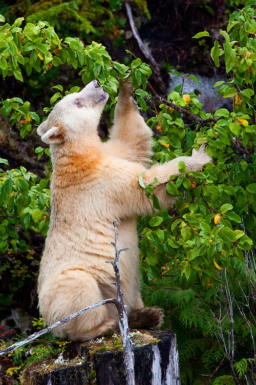 "Kermode ""Spirit"" Bear eating Crab Apples"