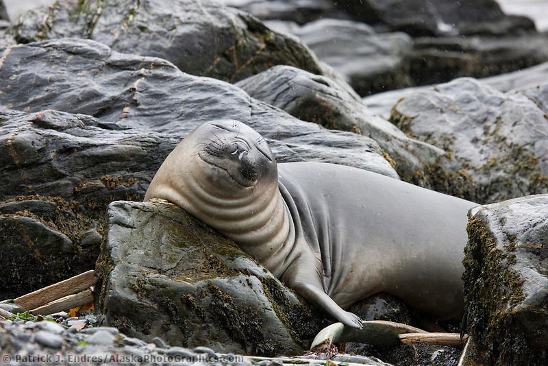 Elephant seal, Godthul Bay, South Georgia Island.