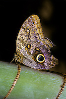 OWL BUTTERFLY<br />