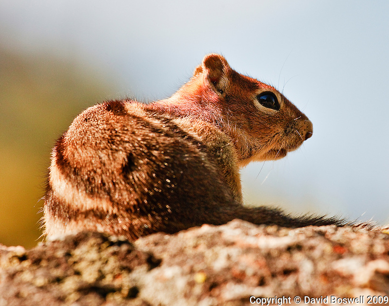 A chipmunk relaxing in the afternoon sun in Cascade Canyon in Grand Teton National Park.