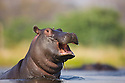 Hippopotamus (Hippopotamus amphibius) calf jumping out of water, yawning, Okavango Delta, Moremi Game Reserve, Botswana