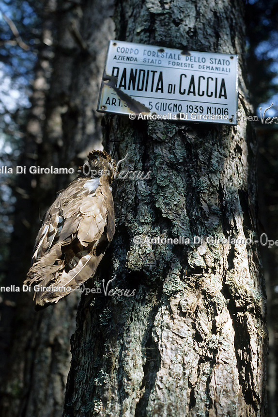 Operazione Adorno. Servizio di prevenzione e repressione del bracconaggio ai danni del falco Pecchiaiolo ( chiamato anche Adorno ) nella zona di Reggio Calabria, dall'Aspromonte al litorale costiero. Gli uccelli migratori, in primavera, attraversano lo stretto di Messina, i bracconieri li cacciano a causa di credenze popolari. Ritrovamento dei resti di un falco ucciso..Adorno operation. Service of prevention and repression of poaching against the falcon Pecchiaiolo ( also called Adorno ) in the area of Reggio Calabria, from Aspromonte to coast. .Migratory birds in spring, crossing the Strait of Messina, the poachers hunt them because of popular beliefs. Discovery of the remains of a hawk killed.....
