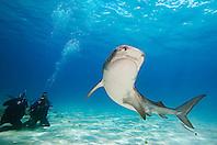 Tiger Shark, Galeocerdo cuvier, and scuba divers, West End, Grand Bahama, Atlantic Ocean