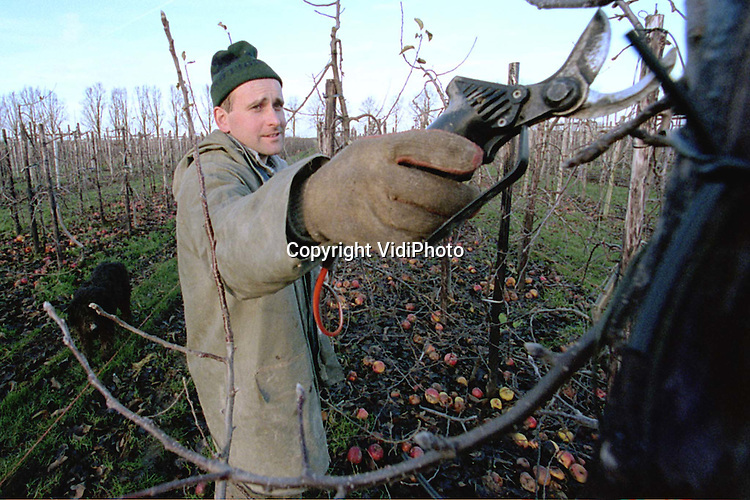 Foto: VidiPhoto..DODEWAARD - De broers S. en Tj. de Vree uit Dodewaard, van het gelijknamige fruitbedrijf, snoeien met z'n tweeen de takken van 23 hectare appel- en perenbomen. Het kost ongeveer 40 uur om 1 hectare bomen pneumatisch te kortwieken. Van de 23 hecare fruit bestaat uit 18 hectare appels: jonagold en elstar. Hoewel ze nog steeds hopen dat het ooit een keer goed komt met de appelprijs, wordt toch ieder jaar een groot deel van de appelbomen ingeruild voor peren (conference).